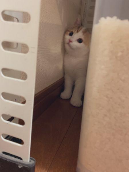 急に静かになったため、コムギちゃんを捜索していた飼い主。コムギちゃんはキッチンのすき間にひょっこり。