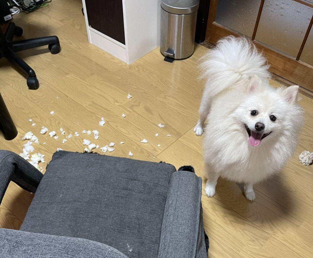 一仕事終え充実顔のポメラニアン いっぽう飼い主さんは横の大惨事をみてあぜん「さぞ楽しかったことでしょう」