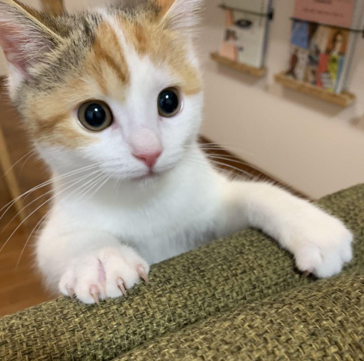 健康優良猫なコムギちゃん。Twitterにて、日々の尊い姿を披露しています。