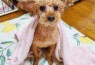 お風呂に入った結果、エイリアンみたいになってしまったトイプードルが話題。