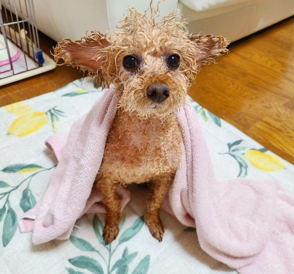 お風呂に入れたらエイリアン 入浴後のトイプードル