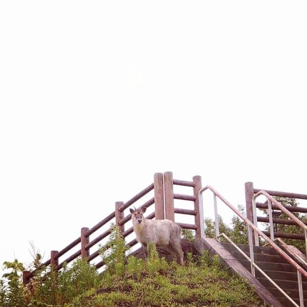 「なんかいる」會津藩校日新館公式Twitterが投稿した写真にいたのはなんとびっくりニホンカモシカだった。