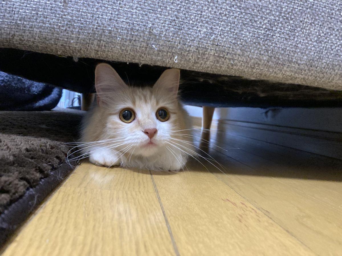 ソファの下からひょっこり。メスのメインクーンののんちゃんです。