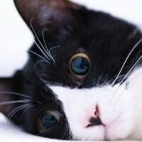 飼い主に構ってもらえず絶望するハチワレ猫