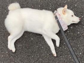 「芯が強い頑固者」なゆきみちゃん。この日はアスファルトで寝そべって抗議活動に。