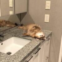 愛猫が毎朝洗面台でスタンバイ 恒例の「かまって攻…