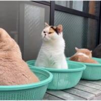 無人販売所の野菜みたいな猫 ザルに1匹ずつ入って仲良くのんびり