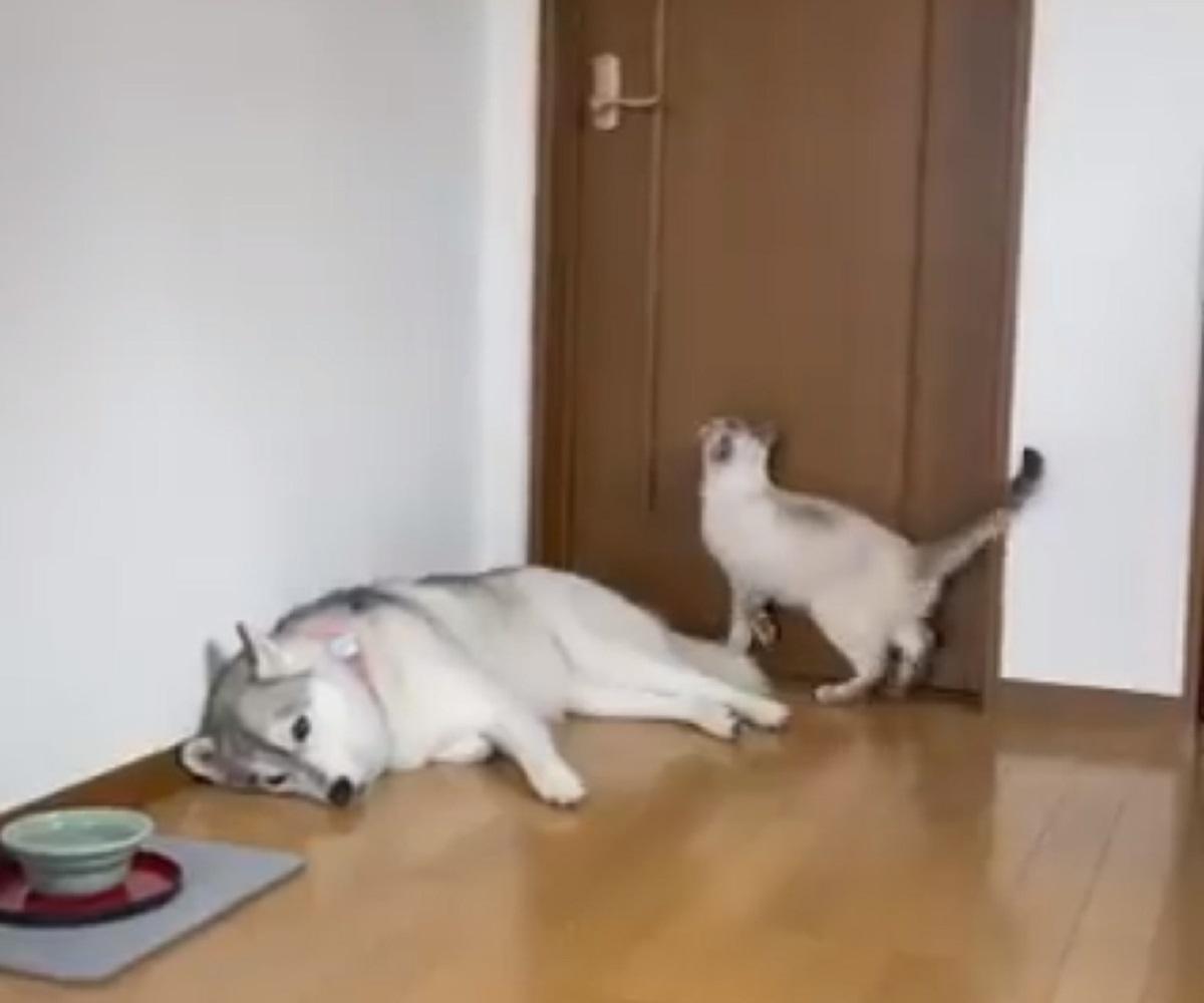 逆ギレ?理不尽な猫パンチにハスキー「シュン……」
