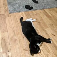 猫とくつ下の位置が絶妙 まるで「くつ下を脱いだ猫」