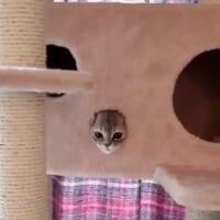 キャットタワーに避難 掃除機に怯える子猫が可愛い