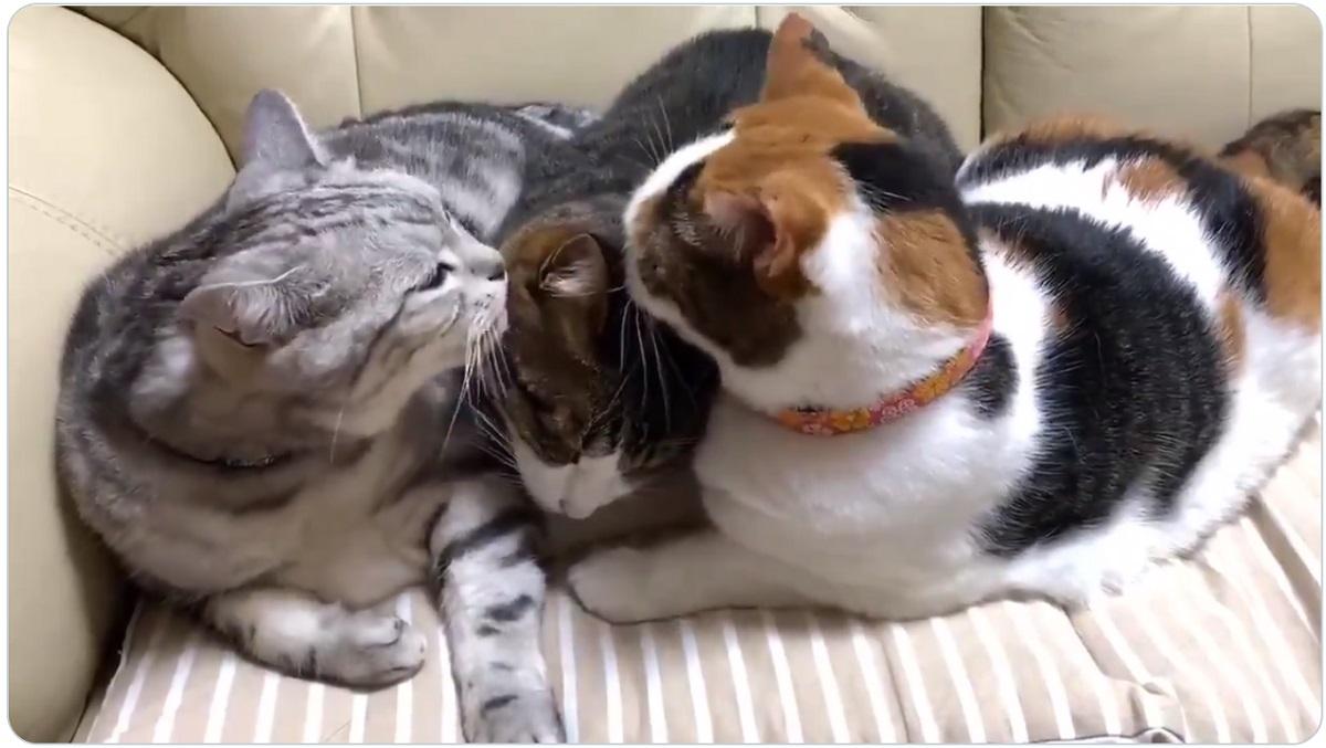 「よく頑張ったね~」 病院に行ってきた後輩猫をペロペロ労う先輩猫