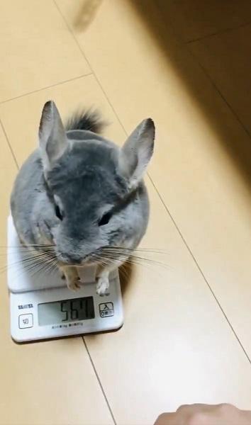 体重計の上で立ち上がるムーちゃん