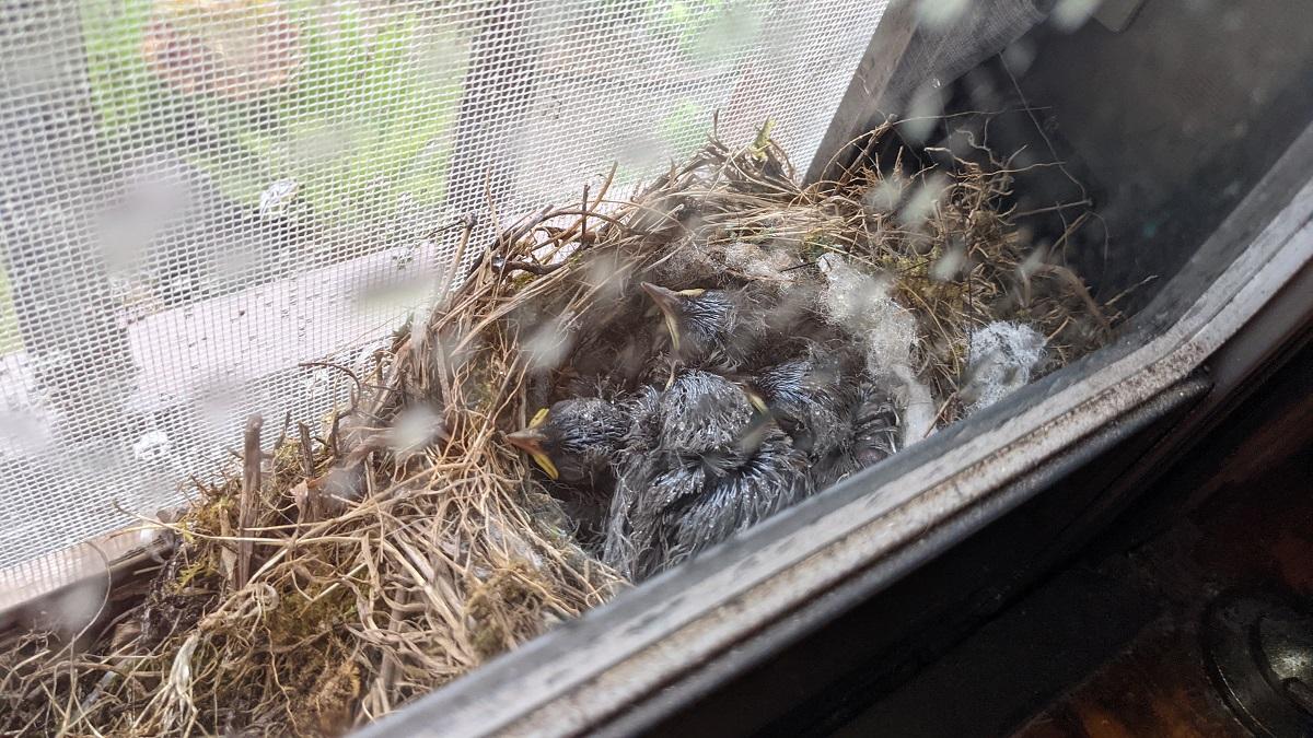 温泉旅館のあの場所に鳥が巣作り 従業員もビックリ「そんな事ある?」