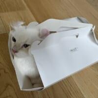 箱の大小はおかまいなし 箱があればとりあえず入ってみる猫さん