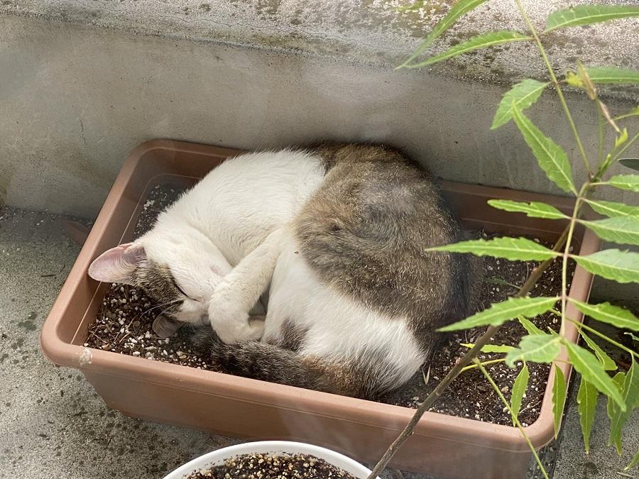 植木鉢で何とも気持ちよさそうに眠る猫ちゃん