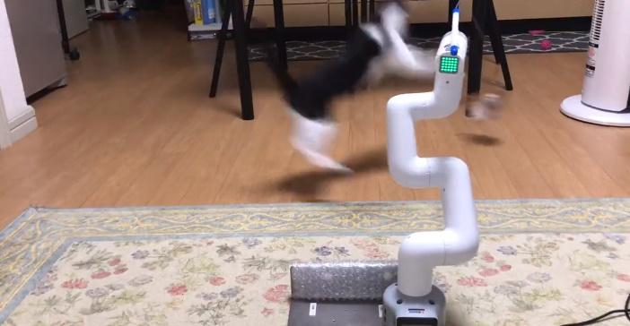 自動猫じゃらしロボに飛び掛かるももちちゃん。しかし華麗にかわされます。