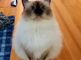 だるまそっくりの「だるま猫」に「福と幸せをお届けしてくれそう」の声