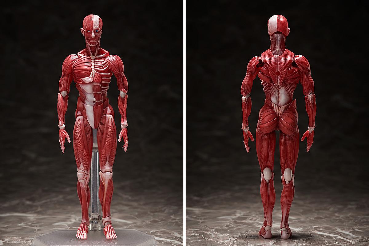 figma 人体模型