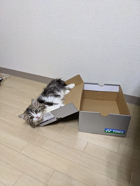 予想通りに行かないのが猫 箱に入るかな?→まさかのフタ側がお気に入りに