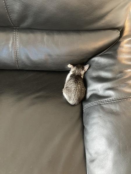 ソファの隅でふさぎ込むししゃもちゃん