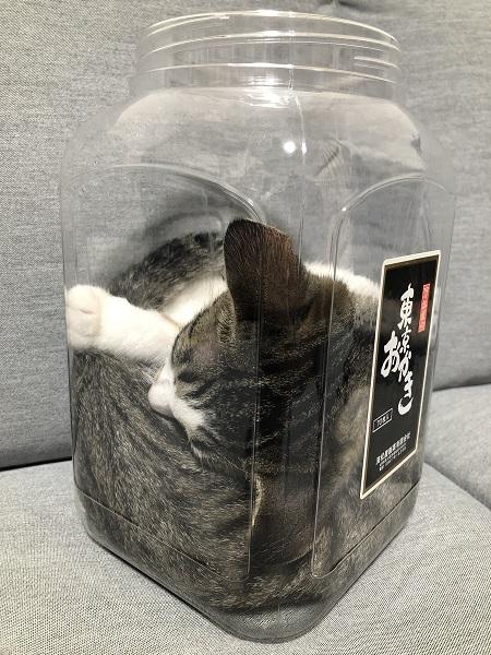 おかきの容器の中で体を折り曲げて一見窮屈そうに寝ている、わらびちゃん