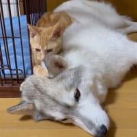 子猫のちょっかいに深いため息をつくシベリアンハス…