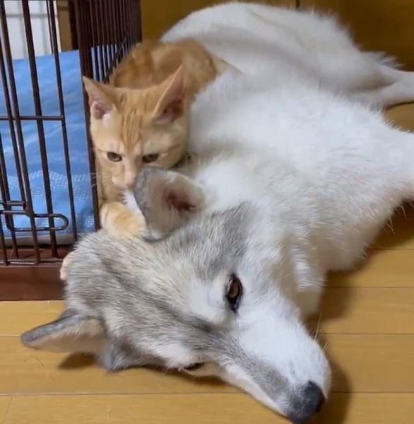 子猫のちょっかいに深いため息をつくシベリアンハスキー ふぅ~