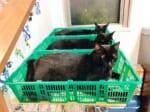 3つ並んだカゴに揃って入る黒猫さん(猫野四季さん提供)