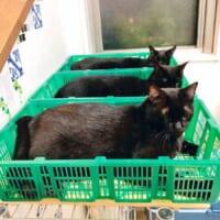 カゴの中で揃ってくつろぐ猫さんズ これから出荷で…