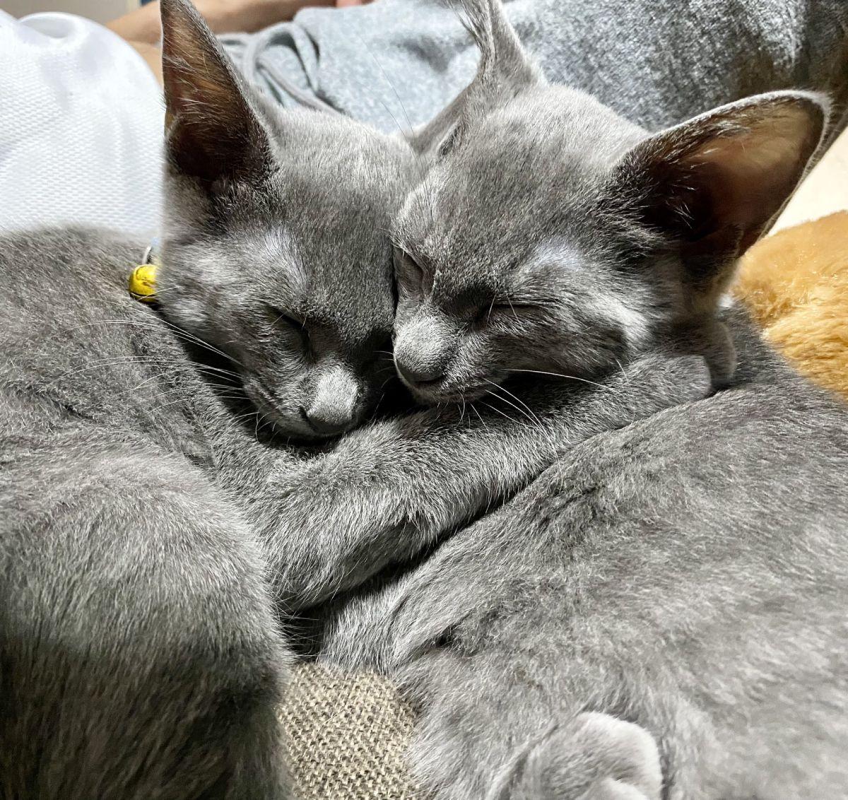 兄弟猫のグリくんとカイくんは普段からとっても仲良し。
