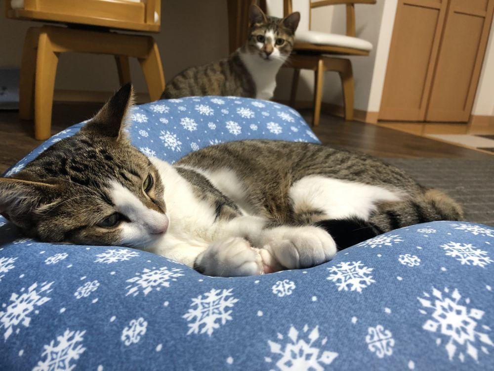 ソーダくんの妹レモンちゃん。スラっとしたスタイルの美猫さん。