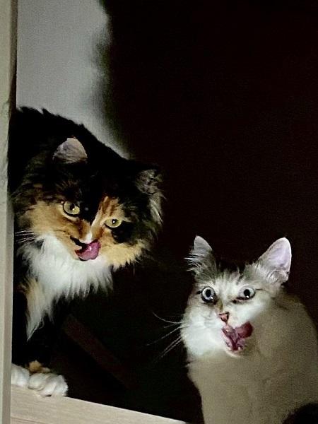 これが注文の多い料理店か……2匹の猫が見せた表情が完全にホラー