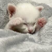 まさに天使 秒で寝落ちした子猫の姿が尊すぎる