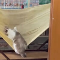 スクープ映像!?愛猫がハンモックに乗る瞬間を激撮