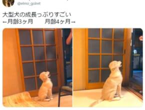 大型犬の成長の早さよ ゴールデンレトリバーの子犬の1か月間の比較写真が話題。