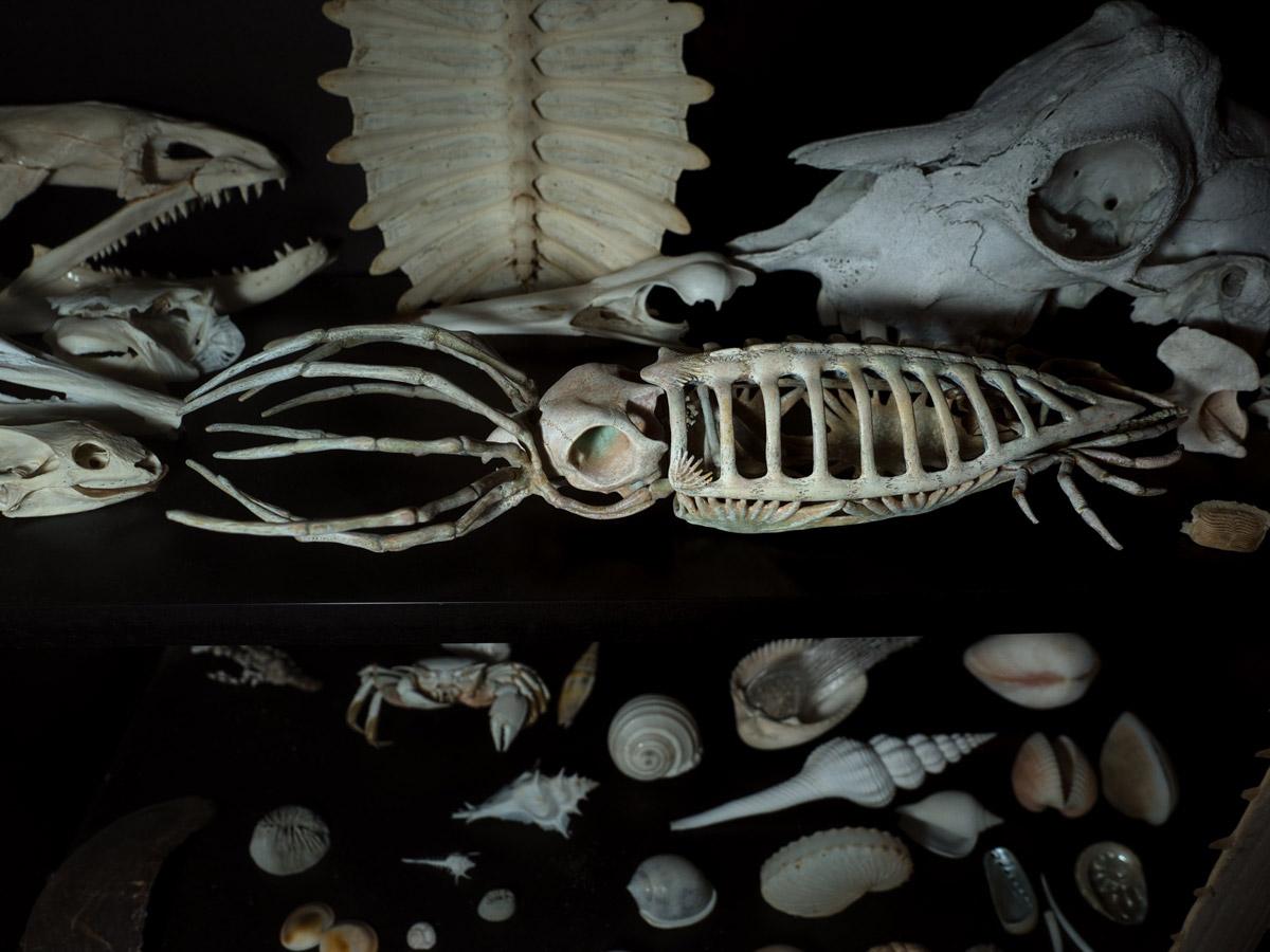 本物の骨と並べても遜色ないイカの骨格標本(増永元さん提供)