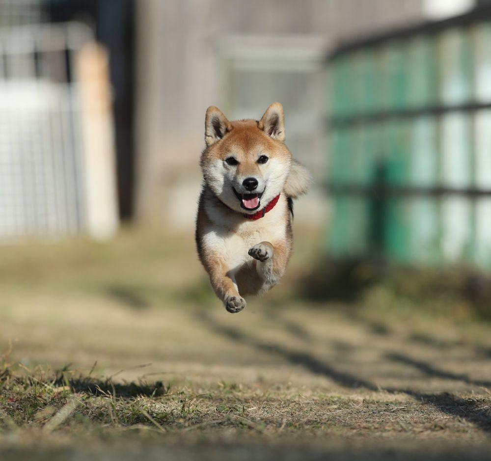 「ひゃっほーい!」 ドッグランを駆け抜ける愛犬のオンリーワンな雄姿