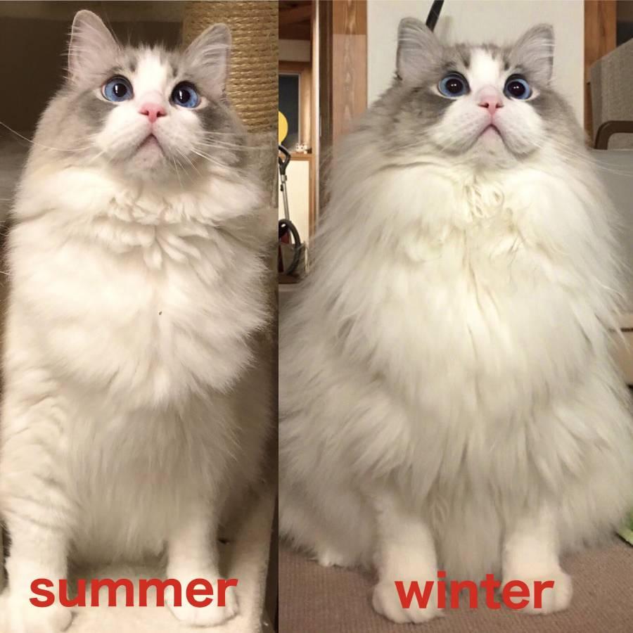 猫の一足早い冬支度 換毛期の変身ぶりにびっくり