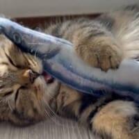 夢の中でお魚食べてる? 魚のおもちゃを抱きしめたまま寝落ち…