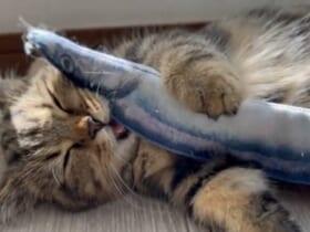 寝てる?食べてる?魚のおもちゃで遊んでいる最中に寝落ちした子猫